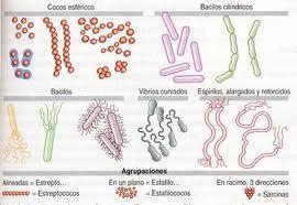 Ejemplos de bacterias, morfología