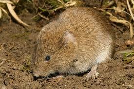 animales en ingles, roedores