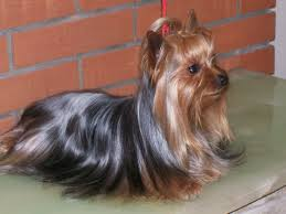 Razas de perros pequeños Yorkshire Terrier