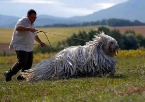 komondor razas de perros grandes