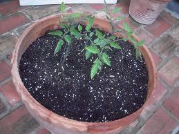 Plantar tomates: Cuantas semillas plantar
