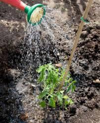 Plantar tomates:  El riego