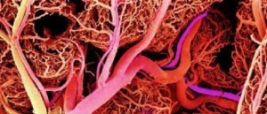 Baso o vaso Vaso sanguíneo