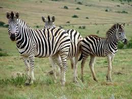 Cebra o zebra:  Zebra