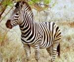Como se escribe cebra o zebra