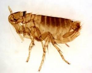 Cómo matar pulgas del hogar