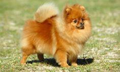 Perros pequeños El pomeranea