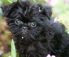 Perros pequeños:   el Affenspinscher en el top 10