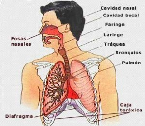 Órganos del cuerpo humano Del aparato respiratorio