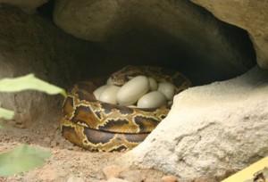 Animales ovíparos:  Los reptiles
