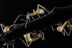 Eliminar hormigas con métodos caseros