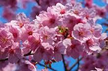 Flor de cerezo en Japón