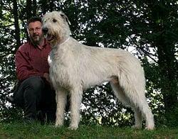Perros gigantes El lebrel irlandés