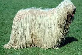 Perros gigantes:  Komodor
