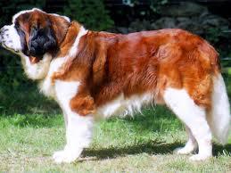 Raza de perro más grande:  El San Bernardo