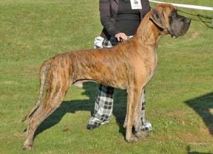 Raza de perro más grande:  el dogo alemán