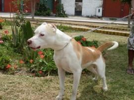Razas de pitbull El American Pit Bull Terrier