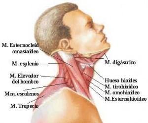 partes del cuerpo humano: El cuello