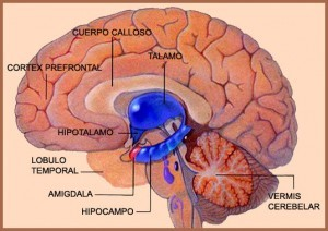 partes del sistema limbico