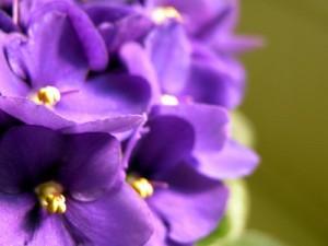 Violetas flor de primavera y las favoritas de quinceañeras.
