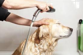 Cómo eliminar las pulgas de mi perro