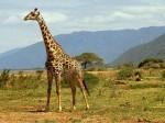 Jirafa o girafa