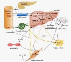 Metabolismo de lípidos - Ejemplos De