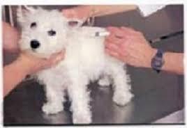 Cómo inyectar a un perro