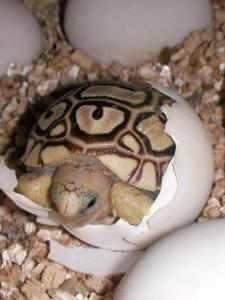 Cómo nacen las tortugas